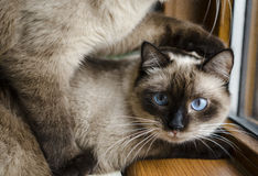 Siamese cats Stock Image