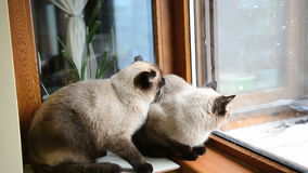 Siamese cats hunting pigeon stock video