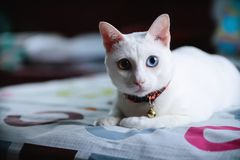 Free Siamese Cats Is Sitting On The Bed Royalty Free Stock Photos - 160972238