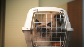 Siamese cats moving in a plastic carrier box stock video footage