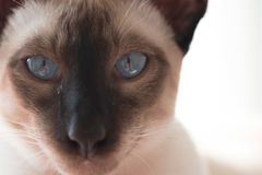 Siamese con gli occhi azzurri Immagine Stock Libera da Diritti