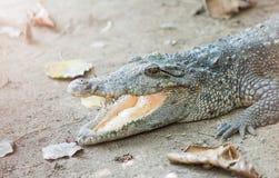 Siamese crococile open mouth. Stock Photos
