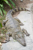 Siamese Crocodile. In open zoo Royalty Free Stock Photo