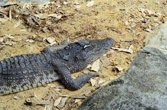 Siamese crocodile Stock Images