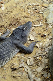 Siamese crocodile Royalty Free Stock Photos