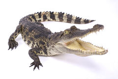 Siamese crocodile,Crocodylus siamensis. The Siamese crocodile,Crocodylus siamensis, is a critically endangered crocodile species on the brink of extinction. They Royalty Free Stock Photography