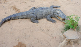 Siamese crocodile on land. Crocodile Farm. Royalty Free Stock Photo