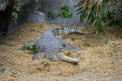 Siamese crocodile lies with an open mouth. Thailand Royalty Free Stock Photography