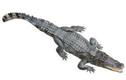 Siamese crocodile  over white background Stock Photos