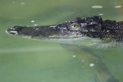 Siamese crocodile Stock Photography