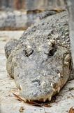 Siamese crocodile Royalty Free Stock Images