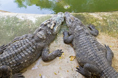 2 Siamese Crocodiles resting on the cement floor near green wate Royalty Free Stock Photography