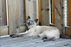 Siamese Dream. Siamese cat shows it's fangs while yawning royalty free stock image