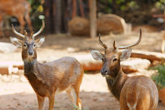 Siamese Eld's deers Royalty Free Stock Images