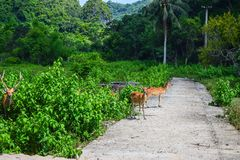 Siamese Eld's deers on Cat Ba, Hai Phong, Viet Nam Stock Photos