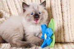 Siamese eller SiberianNeva Masquerade kattunge Royaltyfri Bild