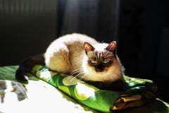 Siamese female cat on a bed Stock Photo