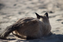 Siamese female cat relaxing on sandy beach. Siamese female cat relaxing on sandy Baltic beach Royalty Free Stock Photos