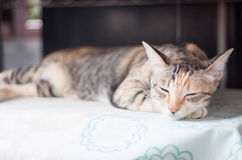 Siamese female cat sleeping indoor Royalty Free Stock Images