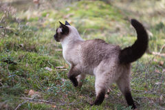 Siamese female cat walking outside in green park Royalty Free Stock Photo