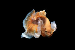 Siamese fighting betta Stock Photos
