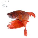 Siamese fighting fish. Shot of a red Siamese fighting fish under water in front of a white background Stock Photo