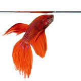 Siamese Fighting Fish Stock Photography