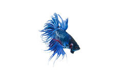 Free Siamese Fighting Fish Royalty Free Stock Images - 39570049