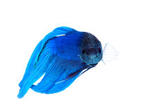 Siamese fighting fish Stock Photos