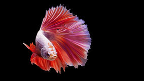 Siamese fighting fish in action, focus on right eye of the fish, closed-up with black background, DUAL ISO technique. Red betta f. Ish, fish color is red Stock Photography