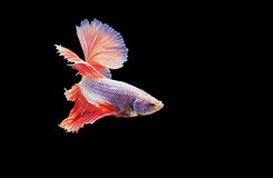 Siamese fighting fish in action, focus on right eye of the fish, closed-up with black background, DUAL ISO technique. Red betta f. Single Siamese fighting fish Royalty Free Stock Photography