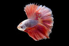 Siamese fighting fish in action, focus on right eye of the fish, closed-up with black background, DUAL ISO technique. Red betta f. Single Siamese fighting fish Royalty Free Stock Photo