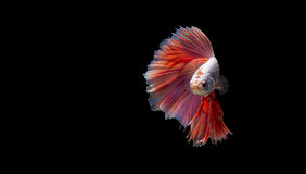 Siamese fighting fish in action, focus on right eye of the fish, closed-up with black background, DUAL ISO technique. Red betta f. Single Siamese fighting fish Royalty Free Stock Images