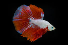Siamese fighting fish Stock Photography