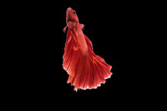 Siamese fighting fish. Beautiful movements of the Siamese fighting fish Royalty Free Stock Photo