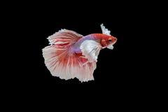Siamese fighting fish. Beautiful movements of the Siamese fighting fish Stock Photos