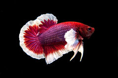 Siamese Fighting Fish Royalty Free Stock Image