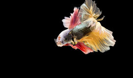 Siamese fighting fish Betta fish acting togther on black background. Stock Photo