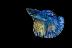 Siamese fighting fish or Betta fish isolated on black. Background stock photography