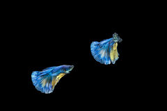 Siamese fighting fish or Betta fish isolated on black. Background stock image