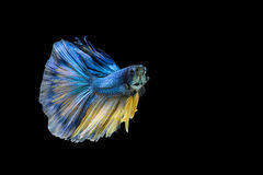 Siamese fighting fish or Betta fish isolated on black. Background royalty free stock image
