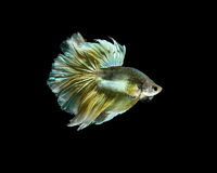 Siamese fighting fish or Betta fish isolated on black. Background royalty free stock photos
