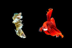 Siamese fighting fish or Betta fish isolated on black. Background stock photo