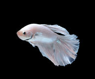 Siamese fighting fish, betta fish isolated on white backgr Stock Image
