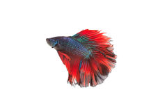 Siamese fighting fish or betta fish isolated. On white background stock photo