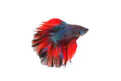 Siamese fighting fish or betta fish isolated. On white background stock photography