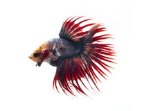 Siamese fighting fish, betta fish  on white background. Royalty Free Stock Photo