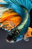 siamese fighting fish Stock Photos