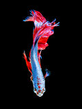 Siamese fighting fish, betta isolated royalty free stock image