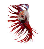 Siamese fighting fish , betta isolated Stock Photos